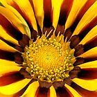 Yellow Gazania by KittenFlower