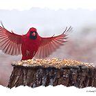 Male cardinal Landing  by Randy & Kay Branham