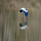 Great Blue Heron by DottieDees