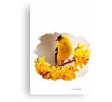 AMERICAN MALE GOLDFINCH Canvas Print