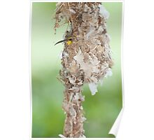 Tucked Up - sunbird nesting in far north Queensland Poster