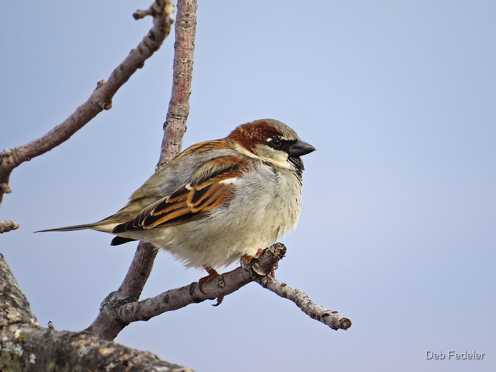 House Sparrow On A Twig by Deb Fedeler