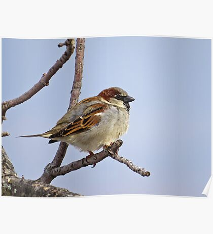 House Sparrow On A Twig Poster
