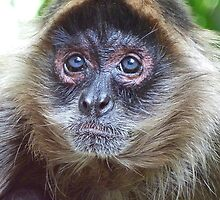 Blue Eyed Spider Monkey by Margaret Saheed