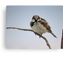 Right Back At You - House Sparrow Canvas Print