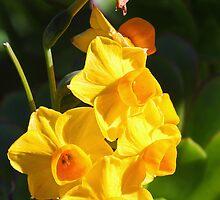 Narcissus jonquilla (Daffodil) by Darrick Kuykendall