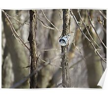 Nuthatch on Sapling Poster
