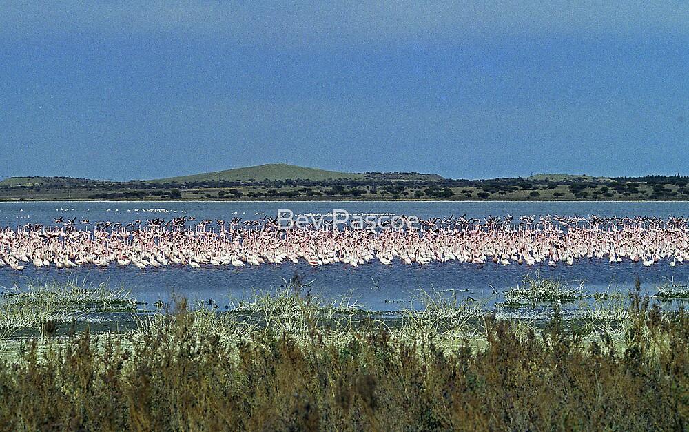 Flamingos near Kimberley - South Africa by Bev Pascoe