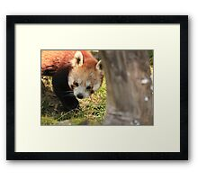 A Shy Little Bear Framed Print