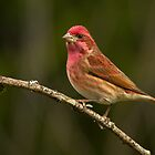 A Little Finch by BarryHetschko