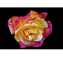 Spitfire rose Photographic Print
