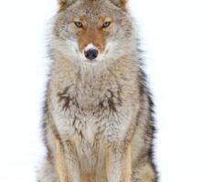 Snow Nose - Coyote Sticker