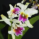 Cattleya Orchids by Sandra  Sengstock-Miller