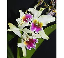 Cattleya Orchids Photographic Print
