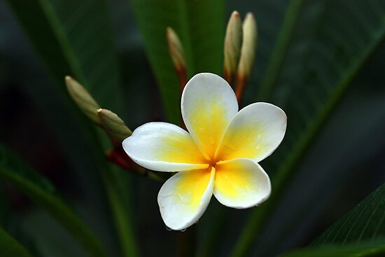 Single Frangipani by Keith G. Hawley