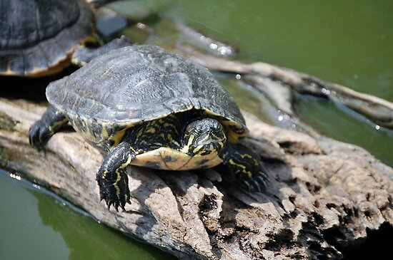 Red eared slider by scott staley