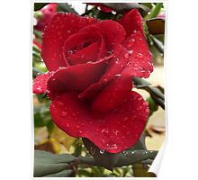Rose with raindrops Poster