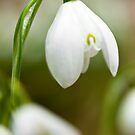 Single Snowdrop by Stephen Knowles
