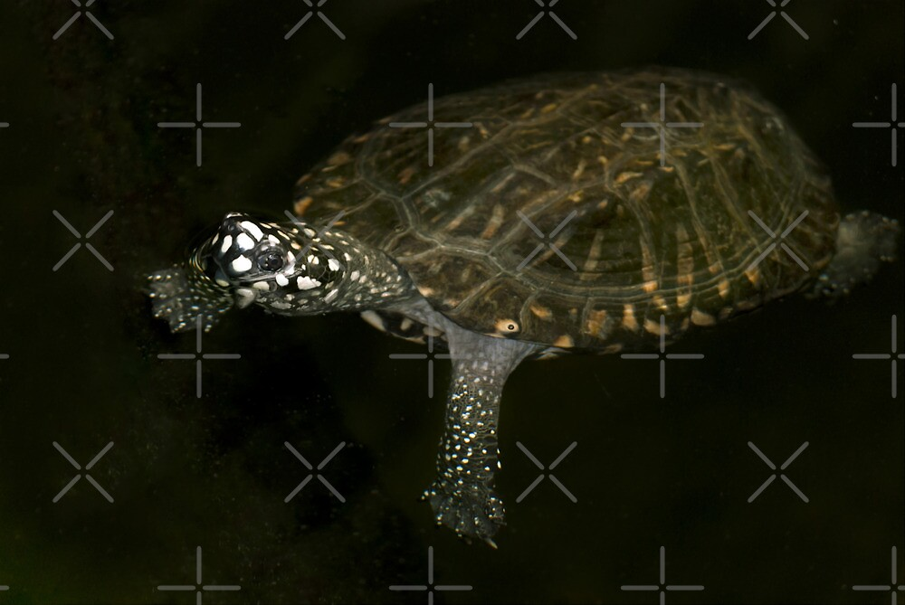 Swimming Turtle by Vac1