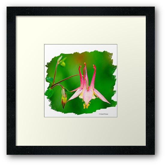 Columbine Flower  by Randy Branham