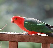 Glorious Australian King Parrot by Vicki Childs