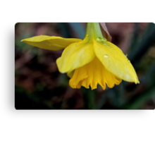 The First Daffodil Canvas Print