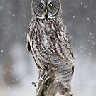Great Gray Owl in Heavy Snowfall by Bill McMullen