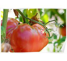 In my garden: big tomato Poster