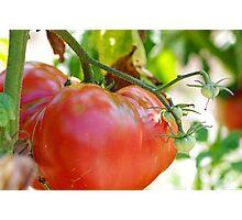In my garden: big tomato Photographic Print