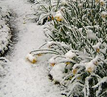 DAFFODILS IN THE SNOW/CLOSE UP by Shoshonan