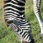 Zebra by JosePracek