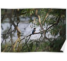 Kingfisher by the lake Poster