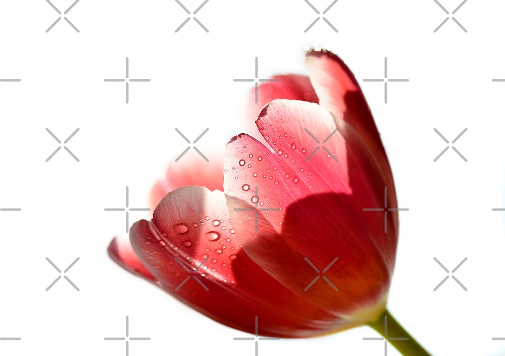 Tulipa by marina63