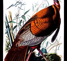 First American West  The Ohio River Valley, 1750-1820 - wild male Turkey by Adam Asar