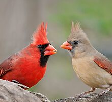 Redbird Encounter  by Bonnie T.  Barry
