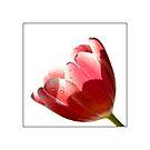 Tulipana by marina63