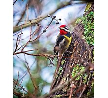 Yellow Belly Sap Sucker Photographic Print