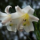 Christmas Lily......! by Roy  Massicks