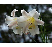 Christmas Lily......! Photographic Print