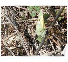 Curious Little Sulphur Butterfly Poster