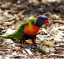 Rainbow Lorikeet by Mark Cooper