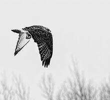 Rough-legged Hawk 2 by Thomas Young