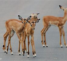 BABY BLACK-FACED IMPALA _Aepyceros melampus petersi - Swartneus rooibok by Magaret Meintjes