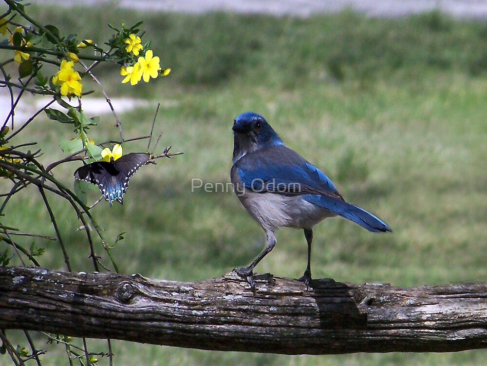Western Srub Jay ~ South Texas by Penny Odom