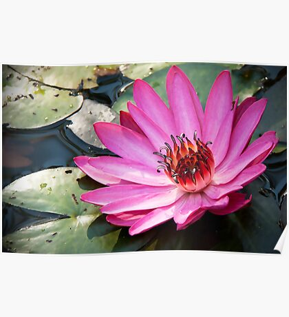 Waterlily,pink. Poster
