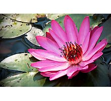 Waterlily,pink. Photographic Print