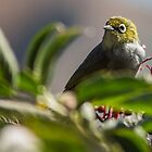 Waxeye by srhayward