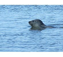 seal by Norfolk Photographic Print