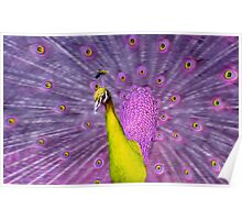 Different coloured Peacock, yellow+purple. Poster