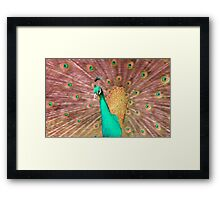 Pink and turquoise coloured Peacock Framed Print
